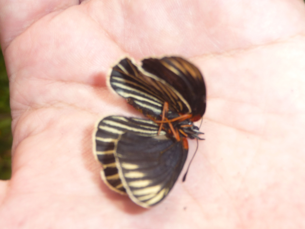 White-rayed Patch Butterfly